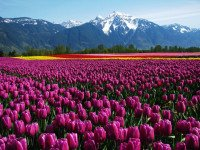 Agassiz Tulip Festival and Mt. Cheam – Canada