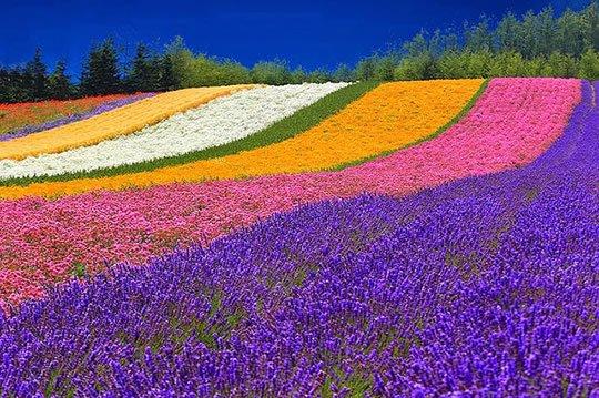 furano_flower_field_hokkaido.jpg