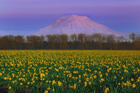Top 15 flower fields in the world world top top daffodils flower fields puyallup valley and mt rainier mightylinksfo