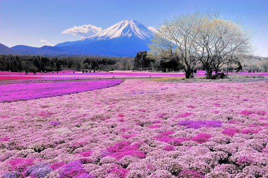 Top 15 flower fields in the world world top top shibazakura flowers field takinoue park japan mightylinksfo