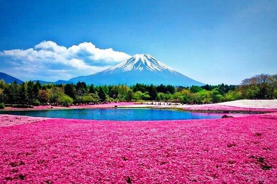 Top 15 flower fields in the world world top top shibazakura flowers field takinoue park japan mightylinksfo