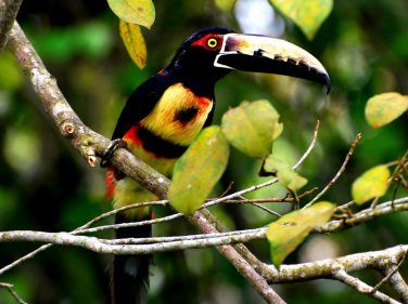 Catatumbo Tucano | Photo by Alan Highton – catatumbotour.com